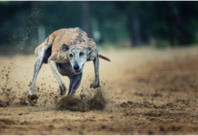 Virtual Greyhound Betting