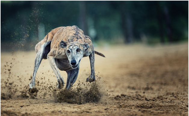 Virtual Greyhound Betting